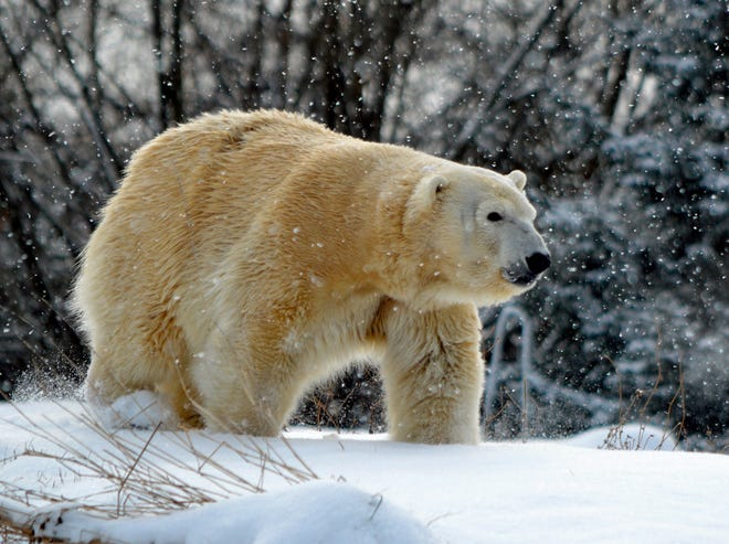 Anana, a 20-year-old polar bear, is shown in a photo provided by the Detroit Zoological Society. Anana was killed by another polar bear at the Royal Oak-based zoo during a mating attempt.