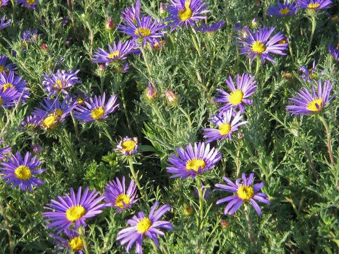 The Tahoka daisy or prairie aster of the Llano Estacado in Texas.