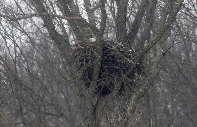 An American bald eagle sits in its nest along Crider Road on Wednesday, Feb. 10, 2021. Bald eagles have been establishing territory in North Central Ohio since the mid 1990s, migrating up the Muskingum River Watershed. TOM E. PUSKAR/TIMES-GAZETTE.COM