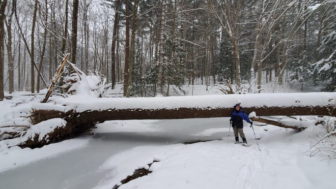 During our original hike, Annette McCormick stands in front of a fallen white pine tree across Pine Run. She didn't realize at that point that she had lost her iPhone in the snow.