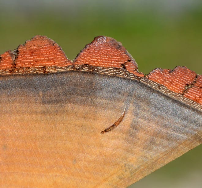 This trunk section of a redbay tree shows stained sapwood, an indication of an infestation by the redbay ambrosia beetle and laurel wilt disease.