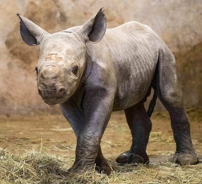 The black rhino calf born Jan. 20 at Lee Richardson Zoo has received his name through a public voting contest at the zoo. The youngster is named Ayubu, which is Swahili for perseverance.