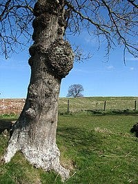 """On occasion trees can develop some unwanted growths that were not on them when planted. One of these strange growths is called a """"burl."""""""