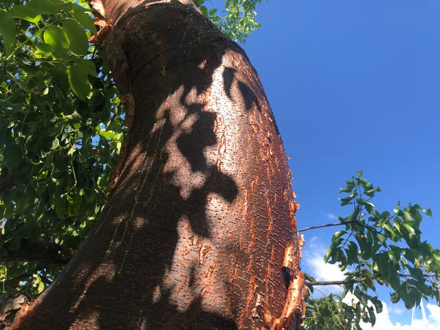 The gumbo limbo tree is recognizable by its coppery bark. The tree is salt-, drought-, and wind-tolerant.