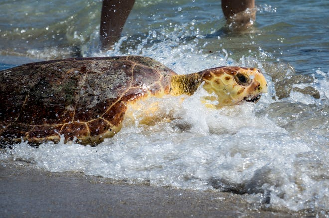 A loggerhead sea turtle named Guy Harvey splashes through a wave during his release on the beach outside the Loggerhead Marinelife Center in Juno Beach. The turtle was named in honor of artist, scientist, diver, angler, conservationist and explorer Guy Harvey, friend of Loggerhead Marinelife Center. RICHARD GRAULICH / PALM BEACH POST