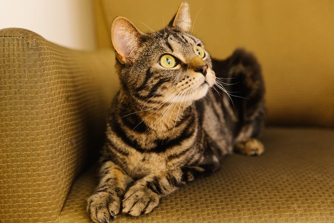 Baxter, a 2-year-old tabby, is available at Providence Animal Control.