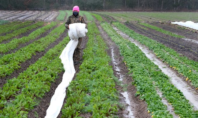 Becky Hume spreads row cover between rows of vegetables on Thursday at VRDNT Farm in Bastrop to protect produce through the freezing temperatures forecast for the weekend.