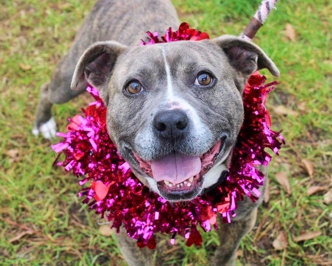 Corey, a gorgeous, gray mixed breed is expected to be a popular choice during this Saturday's special event at the Aiken County Animal Shelter.