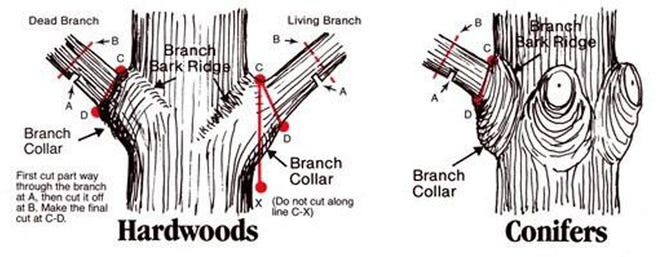 Tree pruning diagram for hardwoods and conifers