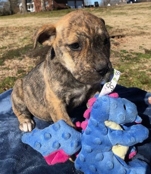 Harmony, a 3-month-old shepherd mix, is among the dogs featured in this weekend's virtual speed dating event hosted by Clifford's Army Rescue Extravaganza.