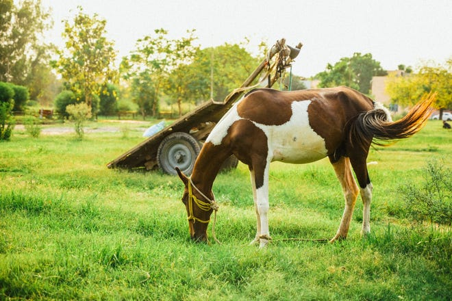 Just like their small animal counterparts, large animals such as horses also require veterinary attention to keep their mouths in top shape.