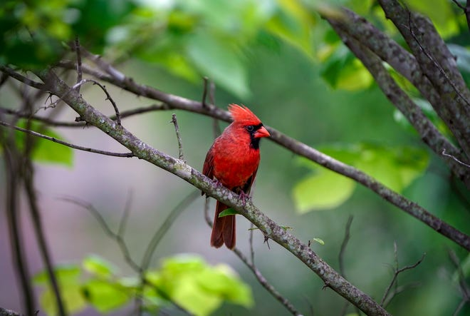 A scarlet male northern cardinal.