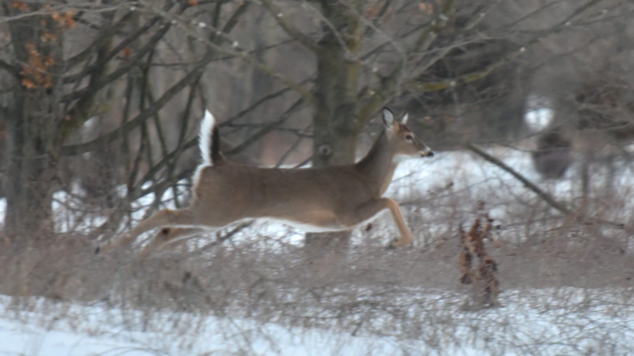 Threats of violence canceled Kensington deer cull