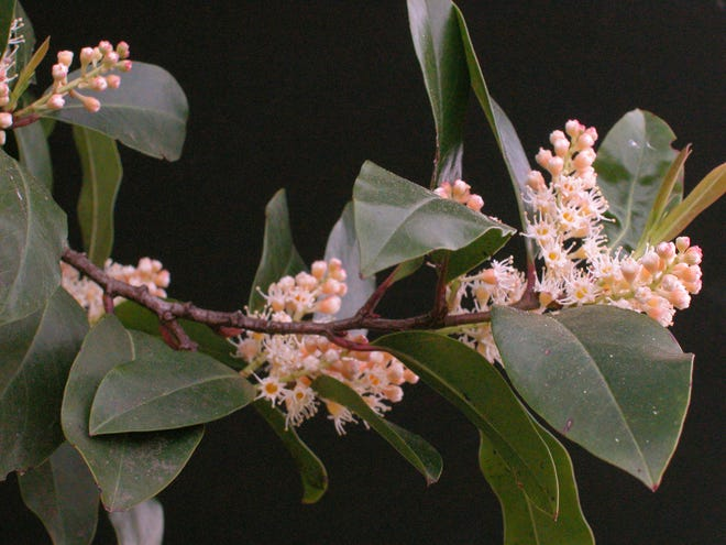 Various birds, especially robins and cedar waxwings seem to love eating the berries of the cherry laurel.