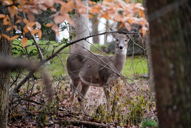 For whatever reason, deer hunting numbers increased in Ohio in the 2020-21 season, resulting in nearly 17,000 taken above the most recent three-year average.