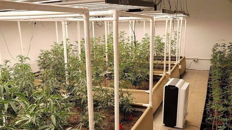 Marijuana grown by Pure West Compassion Clinic owner Christopher Martinez in January. The business was raided Wednesday, Feb. 10, by Michigan State Police.
