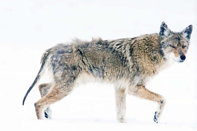 Coyotes typically breed in February and March. The Missouri Department of Conservation says it's important to be vigilant of pets this time of year in areas where coyotes are known to live.