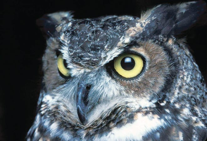 The great horned owl is one of the nocturnal creatures that can be seen at night.