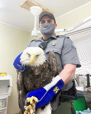 MDC Conservation Agent Jaymes Hall holds a wounded bald eagle after delivering it to the Word Bird Sanctuary in Valley Park for treatment. It was shot Feb. 3 or 4 near Belgrade.
