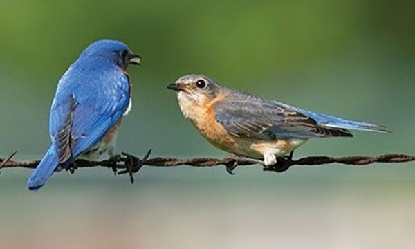This photo shows male and female Eastern Bluebirds.