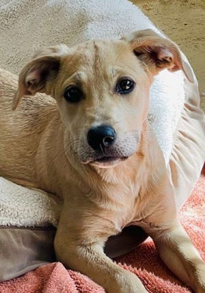 Onnalee, a young female Labrador Retriever, is available for adoption from SAFE Pet Rescue of Northeast Florida. Call 904-325-0196. Vaccinations are up to date.