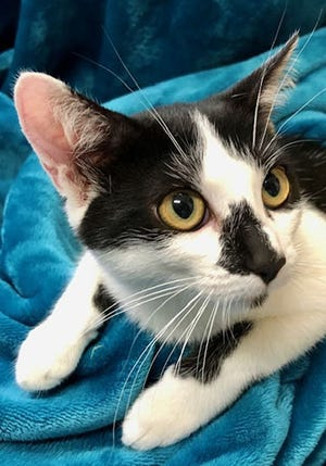 Mia, a baby female domestic short hair, is available for adoption from Wags & Whiskers Pet Rescue. Routine shots are up to date. Call 904-797-6039 or go to wwpetrescue.org.