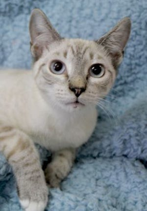 Simon, a baby male Siamese, is available for adoption from Wags & Whiskers Pet Rescue. Routine shots are up to date. Call 904-797-6039 or go to wwpetrescue.org.