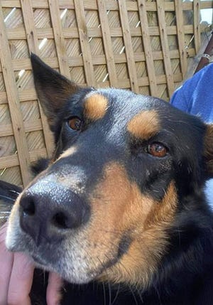 Sonny, an adult male Australian Kelpie, is available for adoption from SAFE Pet Rescue of Northeast Florida. Call 904-325-0196. Vaccinations are up to date.