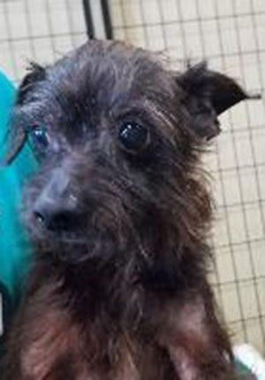 Eric, a senior male Yorkshire terrier, is available for adoption from SAFE Pet Rescue of Northeast Florida. Call 904-325-0196. Vaccinations are up to date.