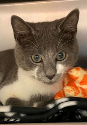 Ashes, a young male domestic short hair, is available for adoption from SAFE Pet Rescue of Northeast Florida. Call 904-325-0196. Vaccinations are up to date.