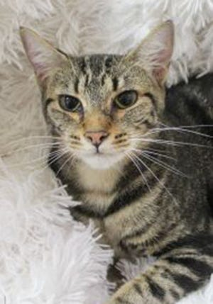 Jasmine, a young female tabby, is available for adoption from Wags & Whiskers Pet Rescue. Routine shots are up to date. Call 904-797-6039 or go to wwpetrescue.org.