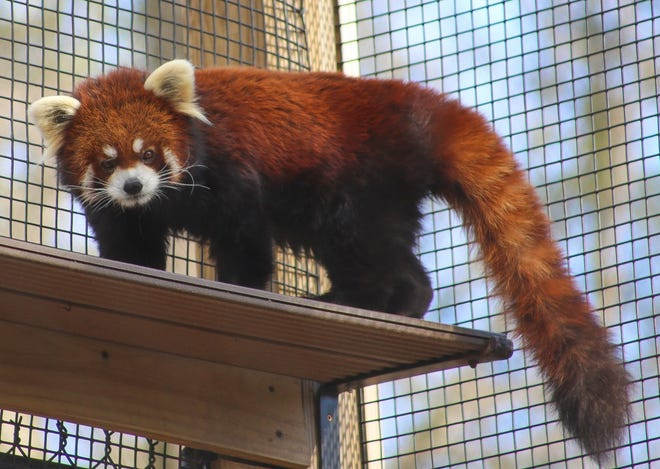 Phoenix, the WNC Nature Center's male red panda, poses for a photo in early February. The center's female red panda, Leafa, had to undergo a surgical procedure but is now back on exhibit.