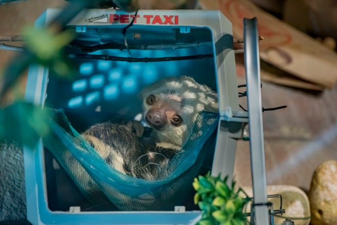 Nentas, a Hoffmann's two-toed sloth, is the Milwaukee County Zoo's newest resident.