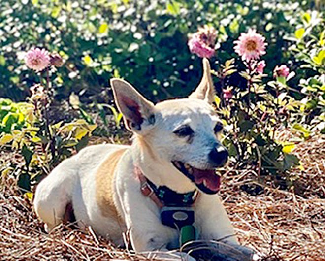 Daisy, the 14-year-old terrier from Prattville went missing two weeks ago. She returned home on her own Friday morning. This is a photo taken before she went missing.