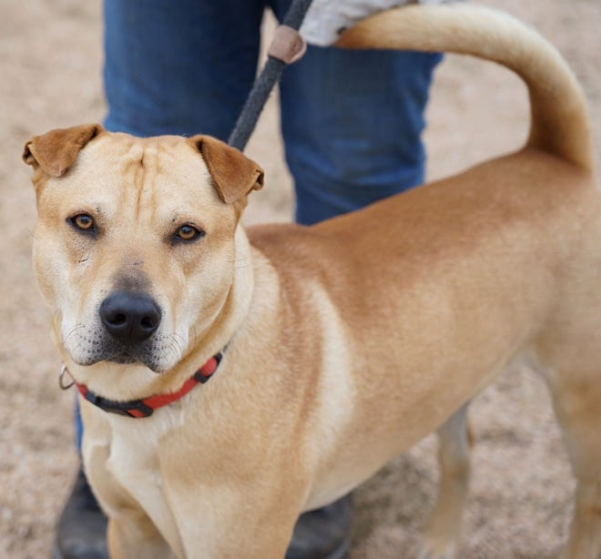 Arnold is one of the lost dogs who recently entered the Williamson County Regional Animal Shelter. 'He is so sweet and well taken care of, we know he has a family somewhere,' says Misty Valenta, the shelter's animal services director.