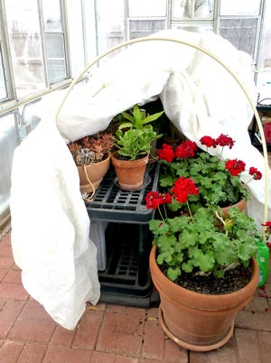 Tender herbaceous perennial plants are growing in an unheated greenhouse. Multiple layers of thick frost cloths will be folded over the now-exposed plants, protecting them from ultra-low temperatures.