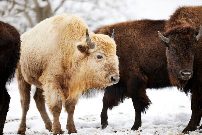 White bison on a snowy day at Dogwood Canyon Nature Park.