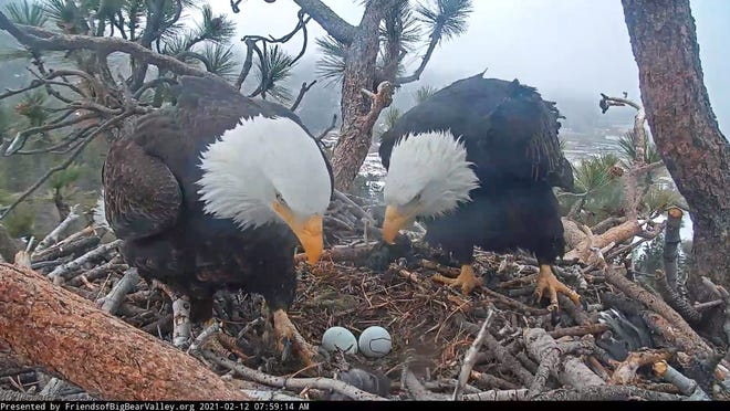 Bald eagles Jackie and Shadow look over their eggs on Friday, Feb. 12, 2021, in a nest near Big Bear Lake.