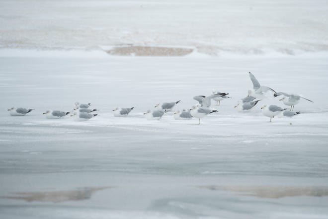 Sea gulls sit on the frozen Dunbar Lake in Mae Simmons Park on Sunday, Feb. 14, 2021, in Lubbock, Texas.