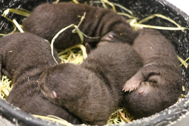 Four baby river otters  at Roger Williams Park Zoo.