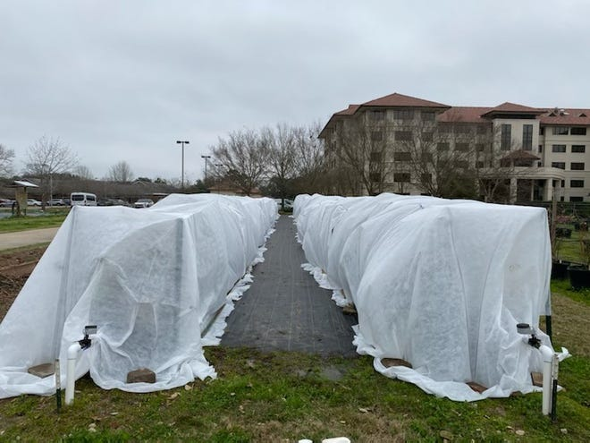 Blueberry bushes used for research at the LSU AgCenter Hill Farm Horticulture Teaching Facilities and University Gardens were covered with weather protection cloth ahead of this week's dip in temperatures.