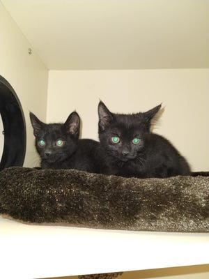 Kittens at Pet Supplies Plus wait for their new homes.