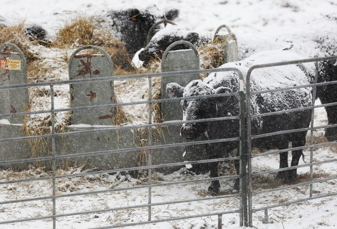 Cattle eat hay north of Hutchinson as snow falls. Farmers and ranchers are providing feed, shelter and water constantly to take care of their livestock in the below freezing temperatures.