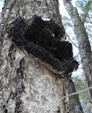 Chaga fungus grows on the trunk of a white birch.