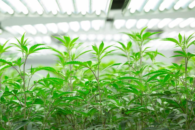 Young marijuana flowers are placed in an indoor room at the CTPharma facility in Rocky Hill.