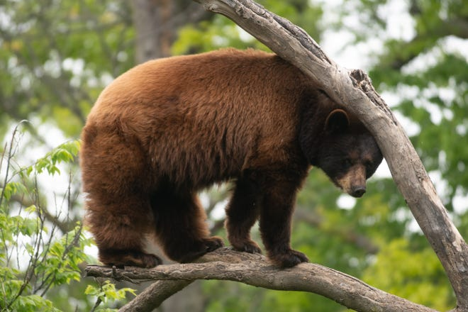 One of the black bears at the Topeka Zoo hangs out in a tree.