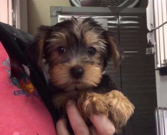 Stolen Yorkshire Terrier