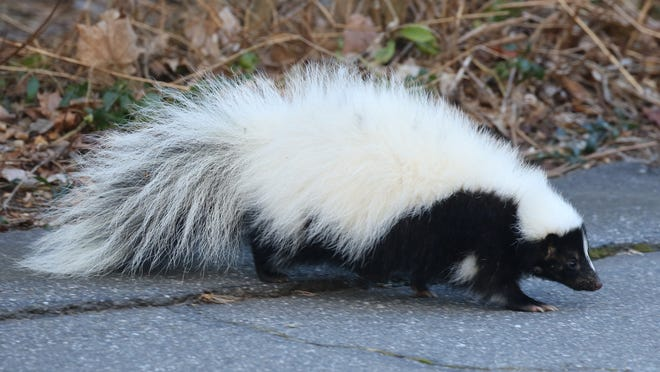 Striped skunks, who don't hibernate but do sleep for quite a bit during the winter, sometimes wake up long enough during a warm spell in February.