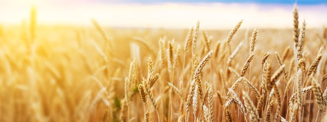 Wheat field. Ears of golden wheat close up. Beautiful Nature Sunset Landscape. Background of ripening ears of meadow wheat field. Banner with copy space, rich harvest concept. Wallpaper.