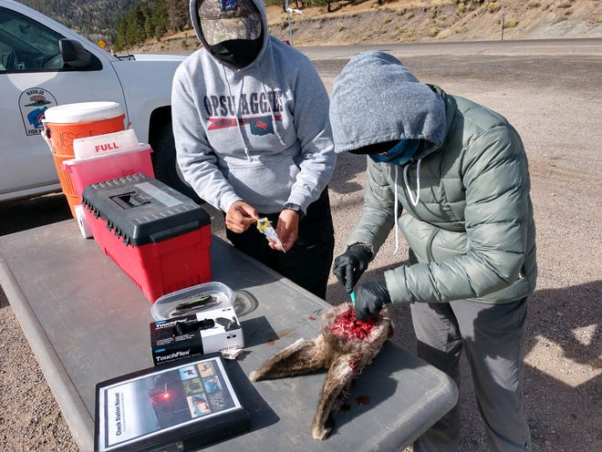 Left to right: Wildlife biologist Carolynn Begay and wildlife technician Janelle Josea of the Navajo Nation Department of Fish and Wildlife practice removing the lymph nodes of a deer for chronic wasting disease surveillance.